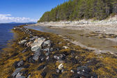 Brown algae (Fucus), on the shore of the White Sea at low tide — Foto Stock