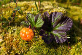Ripe cloudberry in nature (Rubus chamaemorus) — Foto Stock