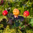 Ripe cloudberry in nature (Rubus chamaemorus) — Stock Photo