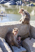 Monkey family in Hampi, Karnataka, India — Stock Photo