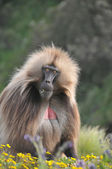 Babbon in wildlife — Stock Photo