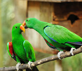 Couple of green eclectus parrots — Stock Photo
