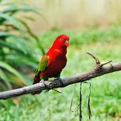 Papegaai vogel — Stockfoto