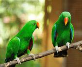 пара попугаев зеленый эклектус — Стоковое фото