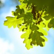 Spring oak leaves — Stock Photo