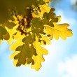 Autumn oak leaves — Stock Photo