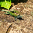 Couple of green lizards — Stock Photo