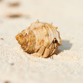 Hermit crab at beach — Stock Photo