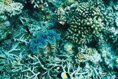 Giant clam — Stockfoto