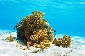 Coral reef at Maldives — Stock Photo