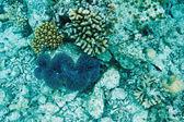 Giant clam — Stock Photo