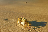 Crab on beach — 图库照片