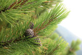 Tree with cones — Stock Photo
