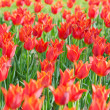 Flowers tulips in the garden — Stock Photo