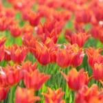 Flowers tulips in the garden — Stock Photo