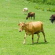 Stock Photo: Cows grazing on the green field