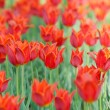 Flowers tulips in the garden — Stock Photo #13633197
