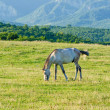 Stock Photo: Lonely horse at the meadow