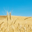 Wheat field on the bright day — Stock Photo #1941931