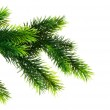 Close up of fir tree branch isolated — Stock Photo #1971945
