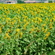 Sunflower field on bright summer day -  