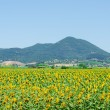 Sunflower field on bright summer day - Stock Photo