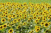 Sunflower field on bright summer day — Stock Photo