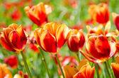 Tulip field on bright summer day — Stock Photo