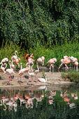 Pink flamingoes — Stock Photo