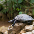 Turtle walking slowly across the field — Stock Photo