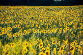 Sunflower field during bright summer day — Stock Photo
