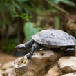 Turtle walking slowly across field — Stock Photo #32101793