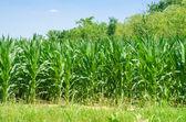 Corn field on bright summer day — Stock Photo