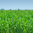 Corn field on bright summe day — Stock Photo