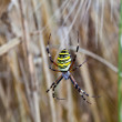 Yellow-black spider in her spiderweb - Stock Photo