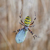 Yellow-black spider in her spiderweb — Stock Photo