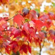Tree with bright red leaves in the autumn — Stock Photo