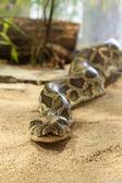 Close-up photo of burmese python — Stock Photo