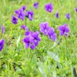 Mountain violets against a green grass are shaken by wind — Stock Video