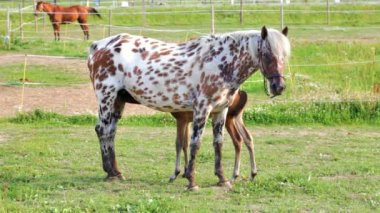 Small brown foal and spotty mare in a shelter — Stock Video