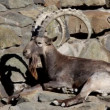 Stock Video: argali mountain