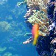 Tropical fish and corals  — Stock Video