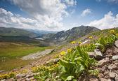 горный цветок сосредоточены — Стоковое фото