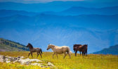 Several horses on mountain peak field — Stock Photo