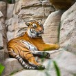 Beautiful  tiger crouching on a rock — Stok fotoğraf