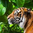 Portrait of a tiger. close-up — Stock Photo