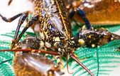 Dark spotty lobster close up — Stock Photo