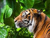 Retrato de um tigre. close-up — Fotografia Stock