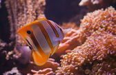 Colorful tropical fish under water — Stock Photo