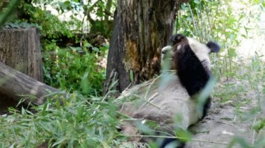 Huge panda a bear — Stockvideo